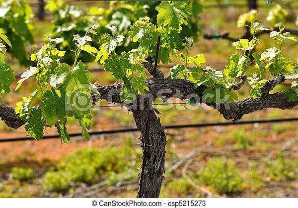 Viña de uva en la primavera - csp5215273