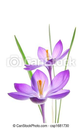 primavera, violeta, açafrão - csp1681730