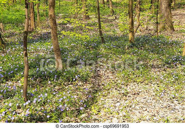 Floreciente de violetas forestales en primavera - csp69691953