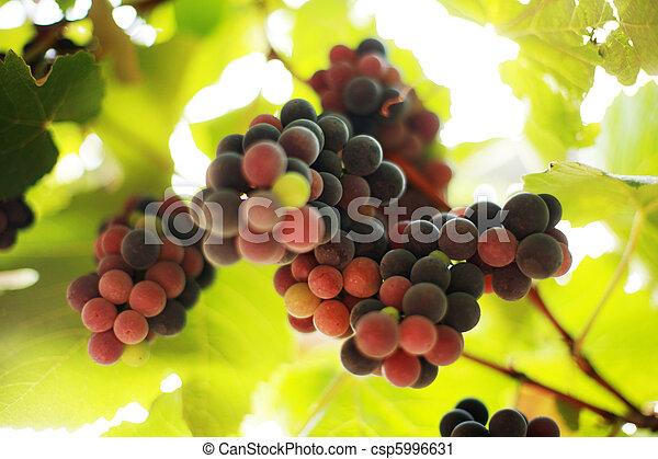 Un grupo de uvas en viña. Dofe superficial. - csp5996631