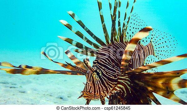 El primer plano de un pez león (Pterois antenata), maldivas. - csp61245845