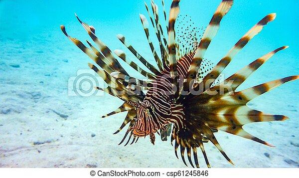 El primer plano de un pez león (Pterois antenata), maldivas. - csp61245846