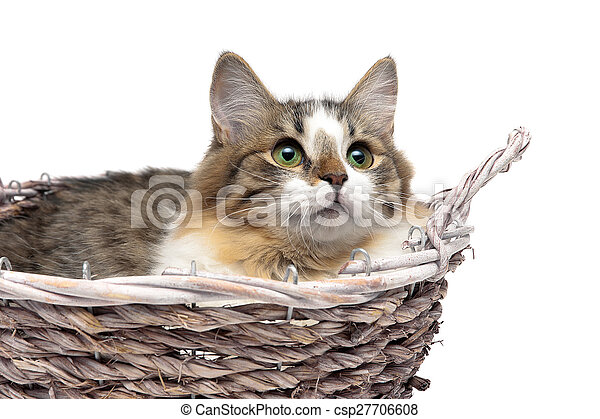Gatito tirado en una canasta en un primer plano de fondo blanco - csp27706608