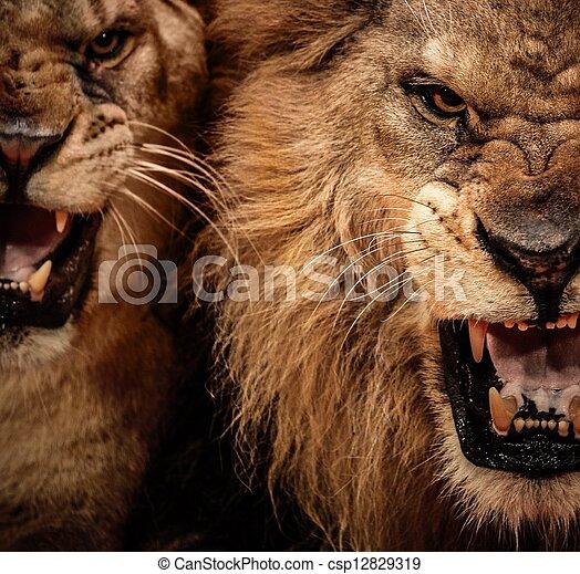 primer plano, rugido, tiro, dos, león - csp12829319