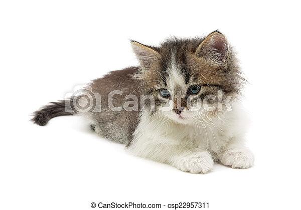 El gatito esponjoso yace en un primer plano de fondo blanco - csp22957311