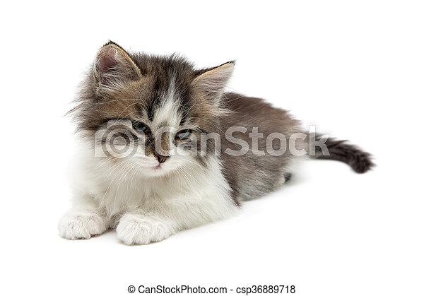 El gatito esponjoso yace en un primer plano de fondo blanco - csp36889718