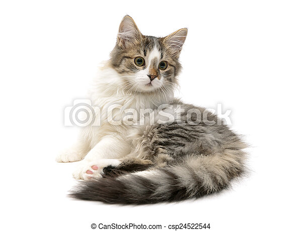 El gatito peludo se sienta en un primer plano de fondo blanco - csp24522544