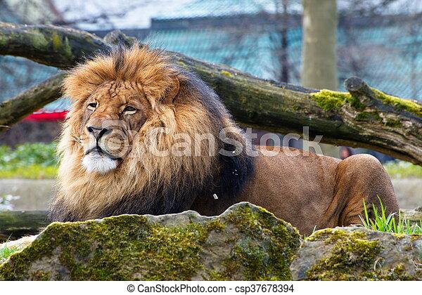 Il leone (Panthera leo Linnaeus, 1758) è un mammifero carnivoro della famiglia dei felidi.