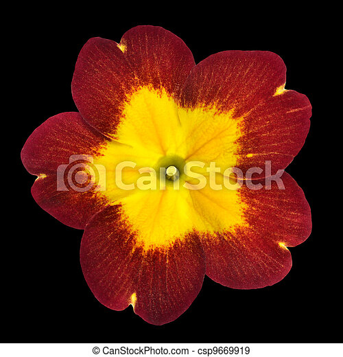 Primrose flower isolated red with yellow center primrose flower primrose flower isolated red with yellow center csp9669919 mightylinksfo