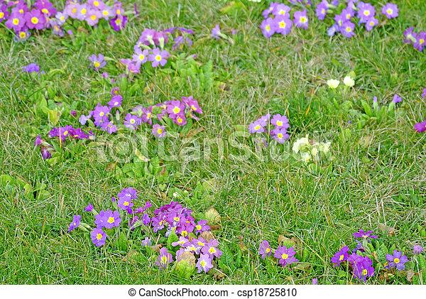 primroses in a garden - csp18725810