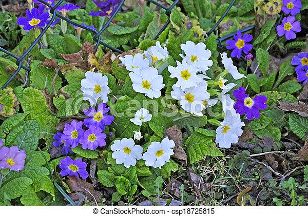 Primroses in a garden - csp18725815