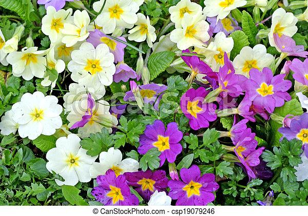 primroses in a garden - csp19079246