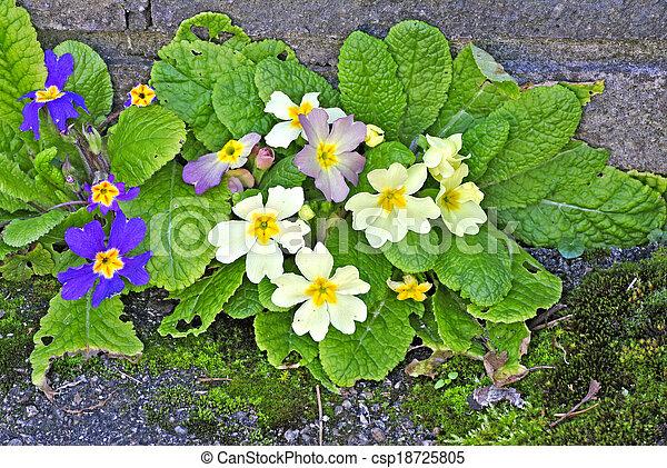 Primroses in a garden - csp18725805