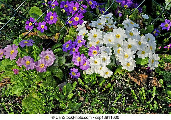 primroses in a garden - csp18911600