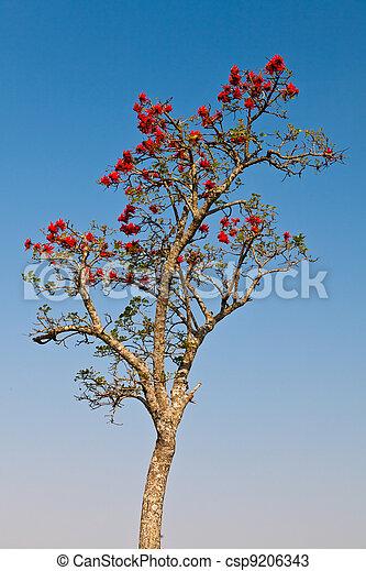 Color printemps arbre africain temps fleurs rouges photos de stock rechercher des - Arbre fleurs rouges printemps ...
