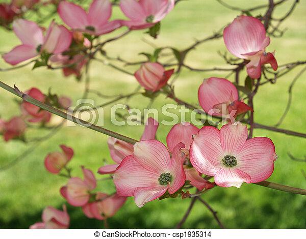 printemps, closeup, cornouiller - csp1935314