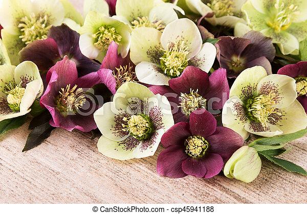 Printemps, ellébore, roses, closeup, fleurs, lenten, ou.