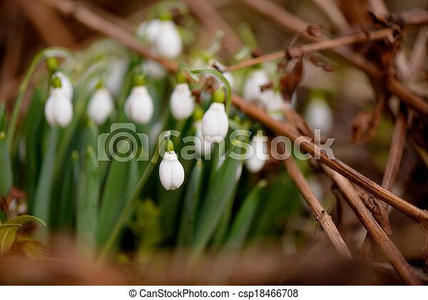 printemps, feuilles, quelques-uns, fond, temps, perce-neige - csp18466708