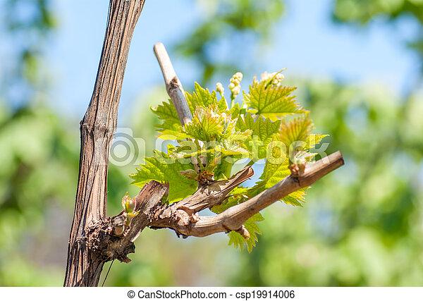 printemps, feuilles, vigne, vignoble, fond, saison - csp19914006