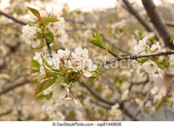 printemps, fleur, fleurs, blanc, arbre, cerise - csp81449836
