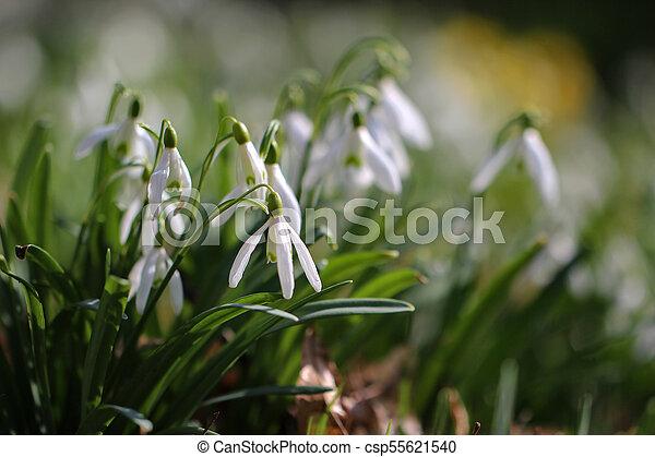 printemps, fleurs blanches - csp55621540