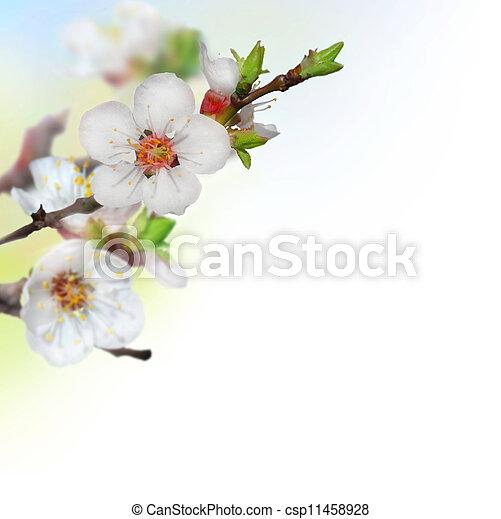 printemps, fleurs, cerise - csp11458928