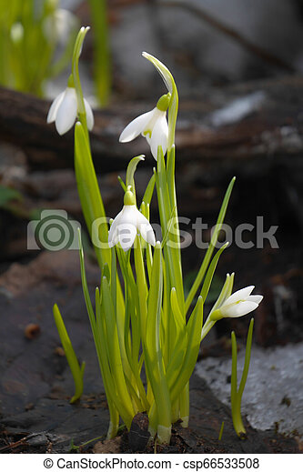 printemps, frame., perce-neige, flowers., vertical - csp66533508