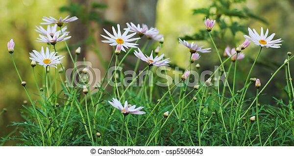 printemps, image, pâquerettes, champ - csp5506643
