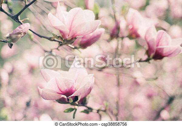 printemps, magnolia, fleurs - csp38858756