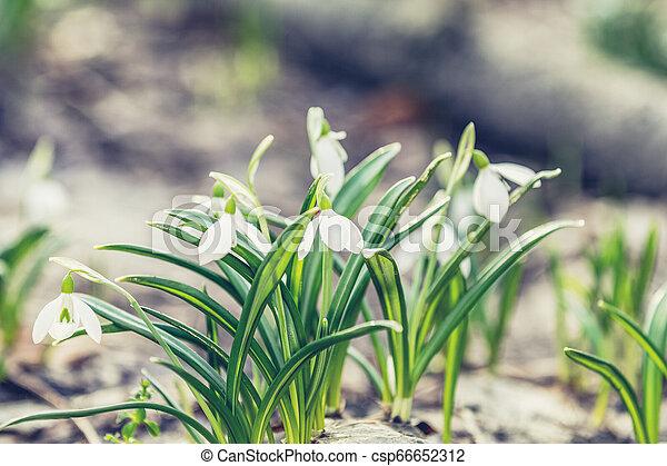 printemps, tendre, coucher soleil, forêt, lumière, perce-neige, blanc, levers de soleil - csp66652312