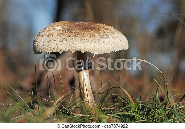 procera, macrolepiota, parasol, ou, champignon - csp7874922