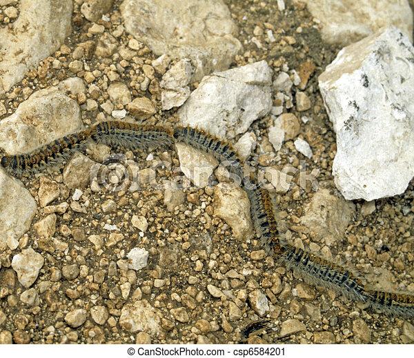 Processionary caterpillars - csp6584201