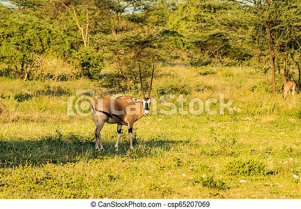 profiel, antilope, savanne, park, gezien, samburu - csp65207069