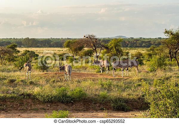 profiel, antilope, savanne, park, gezien, samburu - csp65293552
