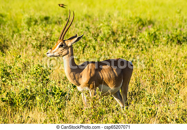 profiel, antilope, savanne, park, gezien, samburu - csp65207071