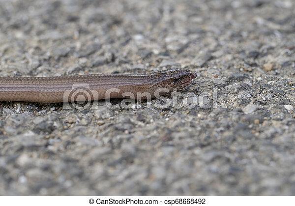 profiel, reptiel, vertragen, of, doof, worm, blindworm, gezicht, eurasia., slowworm, anguis, adder., tong, fragilis, aka, uit., inlander - csp68668492