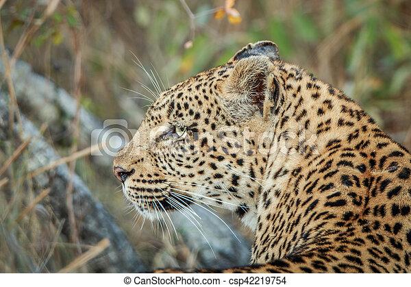 profil, côté, leopard. - csp42219754