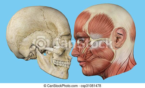 Profil, muskeln, totenschädel. Zygomaticus, muskeln, unterkiefer ...