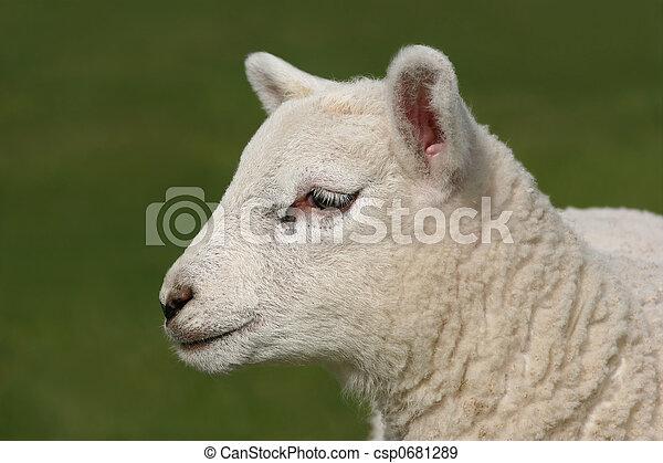 Profile  of a Lamb - csp0681289