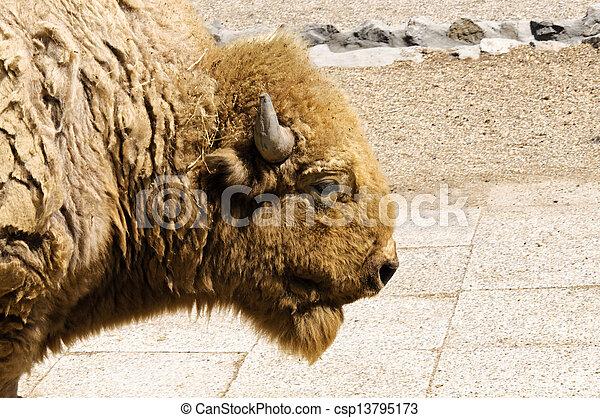 Profile of bison - csp13795173