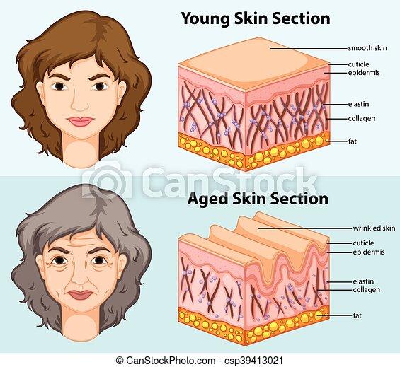 projection, jeune, diagramme, peau humaine, vieilli - csp39413021