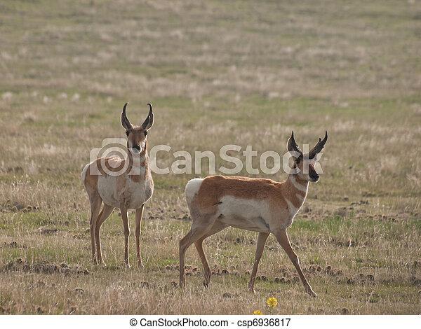 Pronghorn Herd - csp6936817