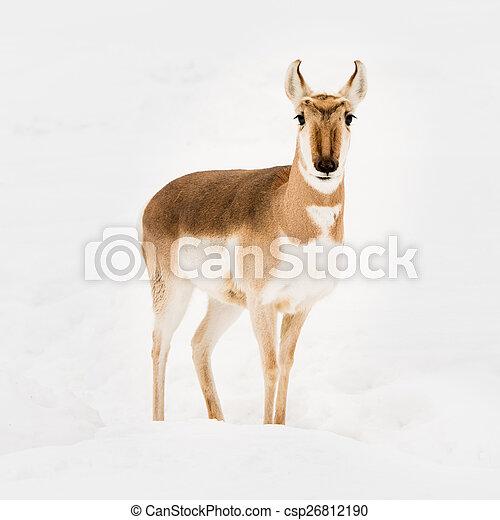 Pronghorn in Snow VI - csp26812190
