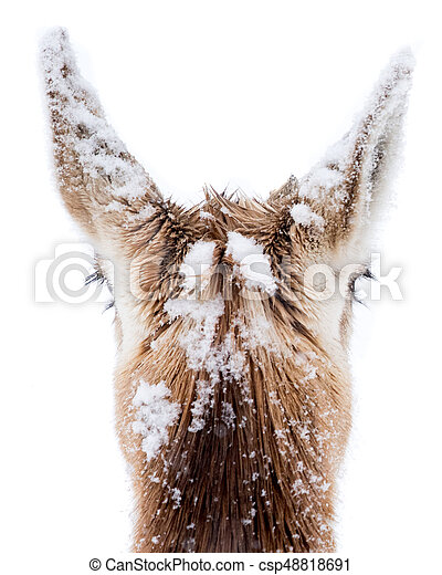 Pronghorns in Snow VII - csp48818691