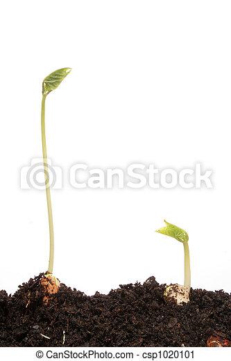 pronkboon, twee, seedlings - csp1020101