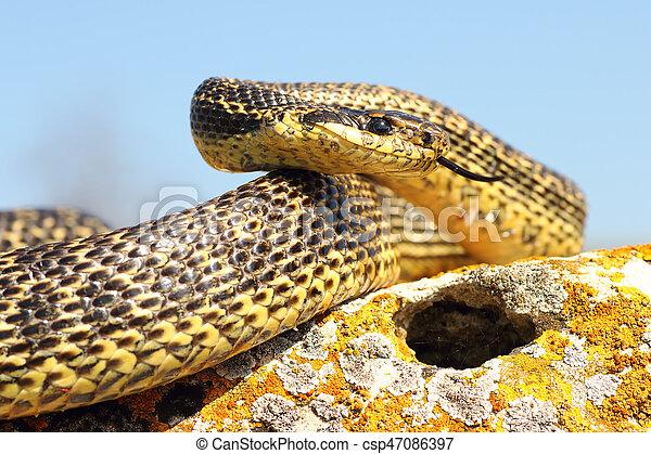 pronto, attacco, blotched, serpente - csp47086397