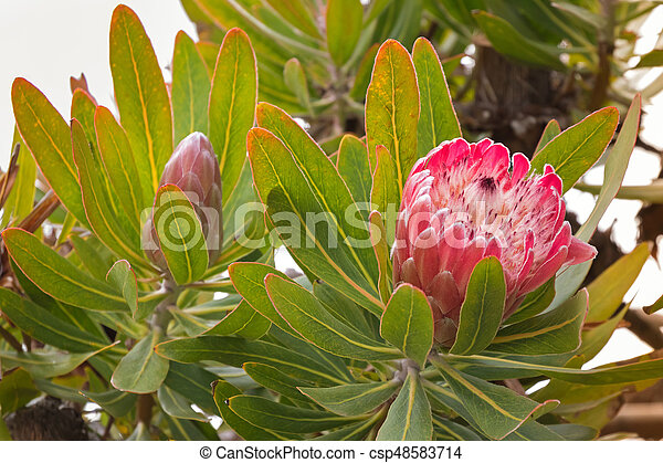 Protea flower head in red pink bract with white hairy feathery flower blossoming in Tasmania, Australia - csp48583714