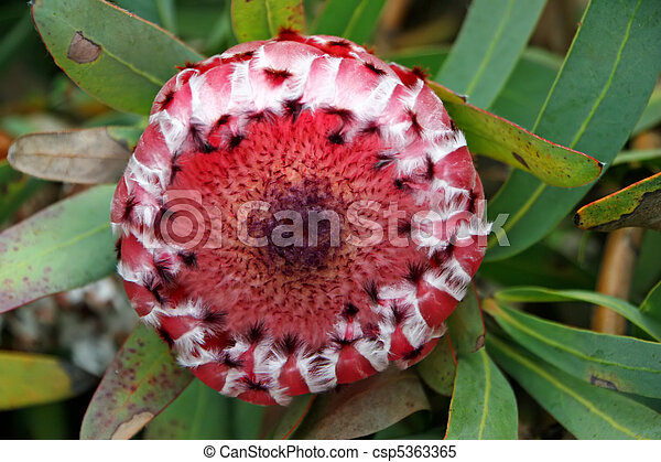 Protea Flower  - csp5363365