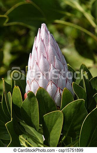 Protea Flower - csp15751899