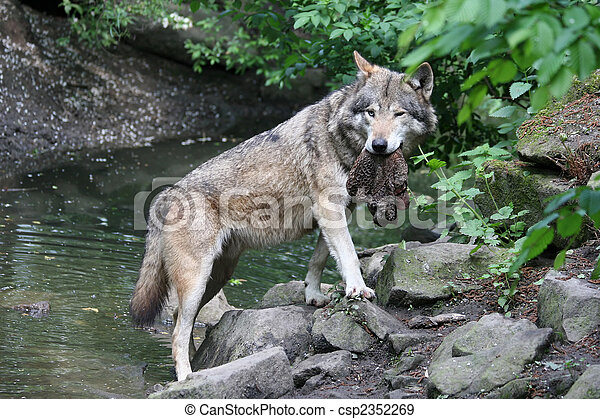 proud wolf - csp2352269